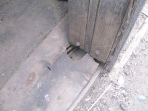 Chewing around the door frame on an old granary. Rats teeth never stop growing, so they are constantly chewing, which does considerable damage to buildings.