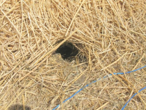 A potential rat hole in a bale. Note that some critters other then rats can make similar holes, however they warrant a close inspection for any other sign that can be used in conjunction with the hole to identify species. Again this is a good job for a pest control officer if you find similar holes.
