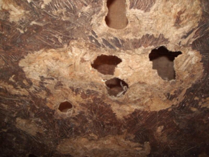 The inner wall of a granary that has been perforated by rats chewing on it.